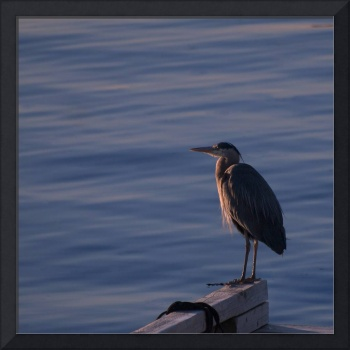 Blue Heron, Vancouver Island, BC, 2009