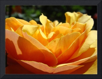 Rose Garden Orange Rose Sunlit 7 Fine Art Prints