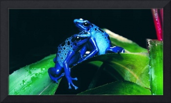 Blue Frogs On A Green Leaf