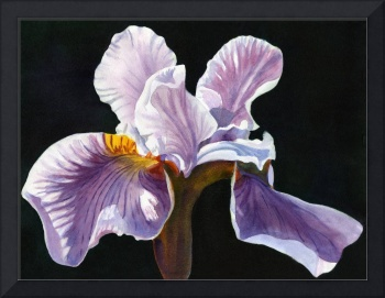 Lavender Iris with Black Background