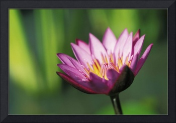 Close-Up Detail Of Single Pink Purple Water Lily F
