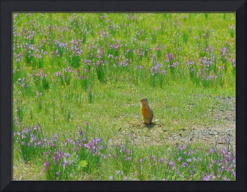 Ground squirrel in the field of wildflowers