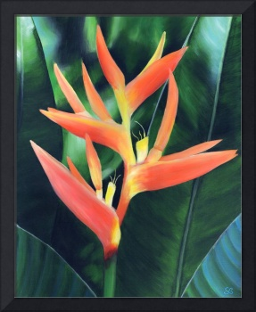 Heliconia (False Bird of Paradise)