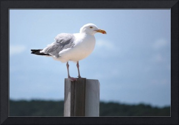 seagull at Chincoteague