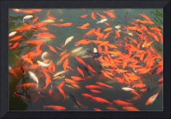 Koi in Forbidden City Pond