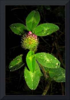 Red Clover ll