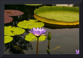 Tropical Waterlilies and a Dragonfly