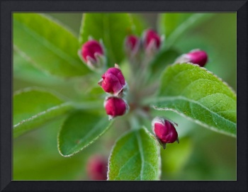 Pink Buds on Crab Apple