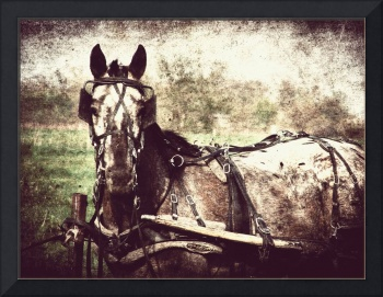 Appaloosa Harness Horse