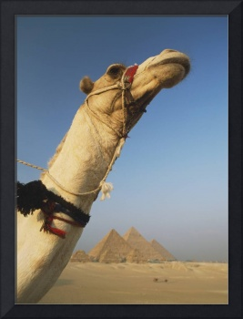 Camel And Great Pyramids Of Giza Egypt