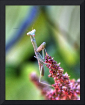 The Praying Mantis Waits
