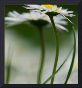 Curvaceous Daisies