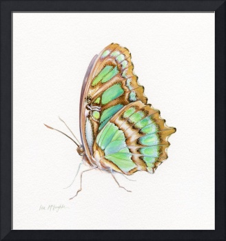 Malachite butterfly perched