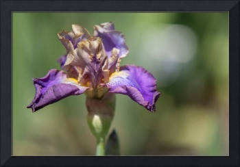 Tall Bearded Iris Lip Service
