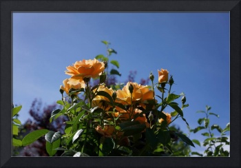 Rose Garden Art Prints Orange Roses Blue Sky