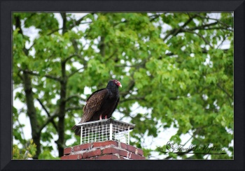 Turkey Vulture 20120423_2a