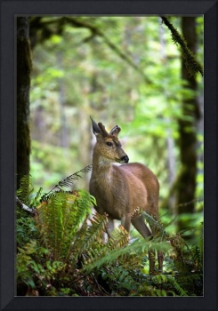 White-Tailed Deer Peering Out Of The Woods
