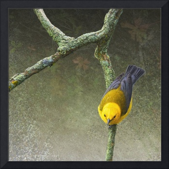 woodland creeper - prothonotary warbler