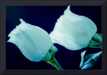 White Roses in Blue Light