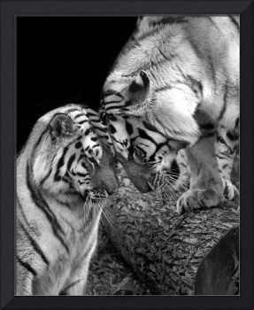Tiger Love Siberian Tigers Black and White Print
