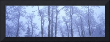 Frost Covered Trees In Fog, Alaska Highway, Britis