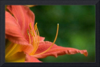 Red Yellow Lilly