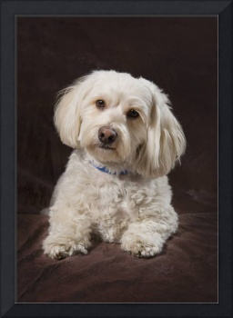 Shih Tzu-Poodle On A Brown Muslin Backdrop