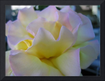 Yellow and pink rose 3 (c)