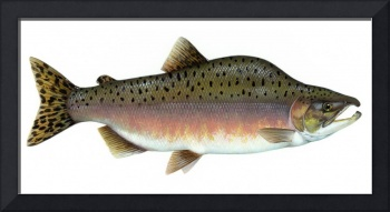 Salmon Artwork
