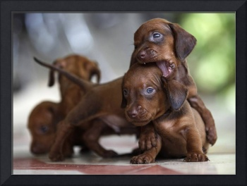 Dachshund Puppies Play