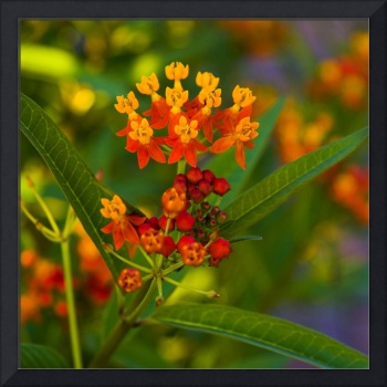 Brilliant Milkweed