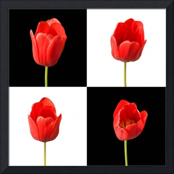 Red Tulips Black White Background Square Wall Art