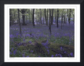 Angmering Park bluebells West Sussex UK