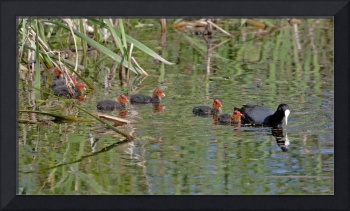 Coot, with young