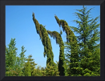 Garden Botanical Conifer Pine Trees Forest Landsca