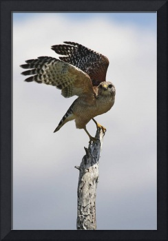Red-Shouldered Hawk Photograph
