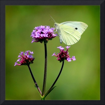 Cabbage White Butterfly Square 2014