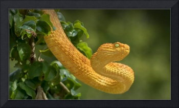 Dangerous Yellow Tree Snake