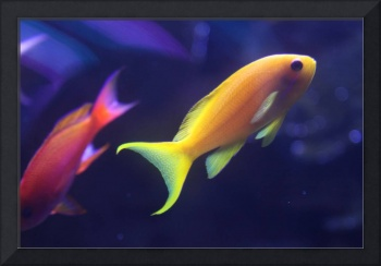 Yellow and Pink Fish