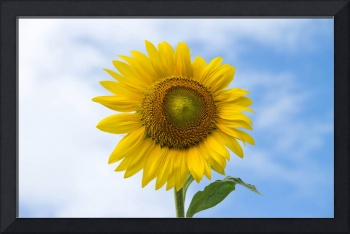 Sun Flower Against Blue Sky