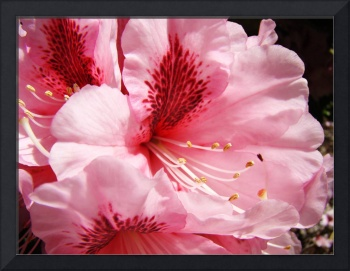 Bright Colorful Pink Rhododendron Flowers art