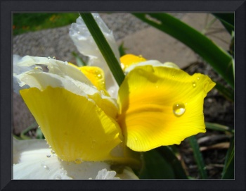 Irises Yellow Iris Flower 22 Floral Art Prints