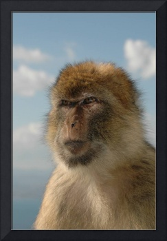 Barbary ape in thought