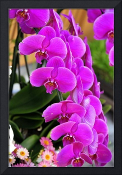 Orchids Spring Promise