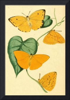 Orange Colias Butterfly - PD Image