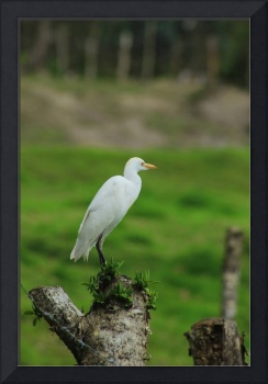 Cattle Egret on a Fence Post