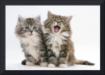 Yawning Maine Coon Kittens 8 Weeks Old