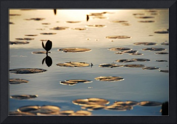 lilypad flower, sunrise