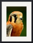 American Kestrel 2 by Jacque Alameddine