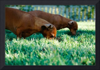Weiner Dogs In Grass